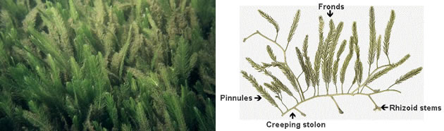 photo of Caulerpa taxifolia next to a diagram labelling the runners as creeping stolon with rhizoid stems anchoring, the fronds have pinnules