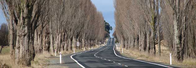 Two long lines of trees growing close to both sides of the road, south-east of Braidwood