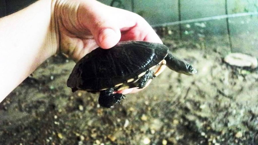 Eastern long neck turtle being relocated [May 2012]